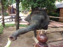Тайский слон младенца на Паттайя Таиланде Стоковые Фотографии RF