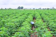 Тайский фермер в weeding рубашки шотландки в плантации кассавы стоковые фото