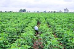 Тайский фермер в weeding рубашки шотландки в плантации кассавы стоковое изображение