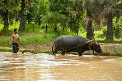 Тайский фермер работает пропускать с буйволом Стоковое Фото
