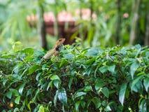Тайский хамелеон на ветви дерева Стоковая Фотография