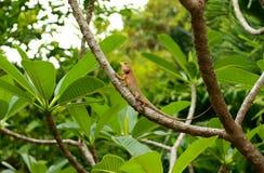 Тайский хамелеон на plumeria ветви стоковые фото