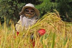 Тайский хуторянин женщины в поле неочищенных рисов Стоковая Фотография RF