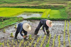 Тайский хуторянин засаживая на ферме неочищенных рисов Стоковые Изображения RF
