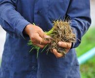 Тайский хуторянин засаживая на ферме неочищенных рисов Стоковая Фотография