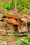 Тайский цыпленок Стоковое Фото