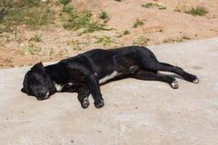 Тайский черный сон бездомной собаки Стоковые Фотографии RF