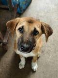Тайский щенок Собака Стоковое Изображение RF