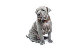 Тайский щенок ridgeback изолированный на белизне Стоковое Изображение RF