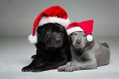 Тайский щенок ridgeback и shar собака pei Стоковое Изображение