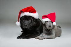 Тайский щенок ridgeback и shar собака pei Стоковое фото RF