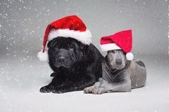 Тайский щенок ridgeback и shar собака pei Стоковые Фотографии RF