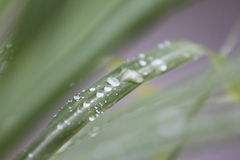 Тайский citronella травы лимона Стоковое Изображение RF