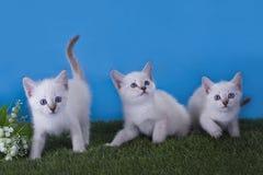 Тайский frolic котят в луге стоковое фото