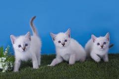 Тайский frolic котят в луге стоковые фотографии rf
