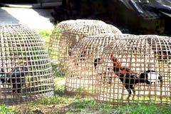 Тайский gamecock в курятнике Стоковая Фотография