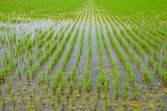 Тайское земледелие - засаживать зеленый рис в строках в полях риса стоковые изображения rf