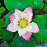 Тайское цветка лотоса красивое Стоковые Фотографии RF