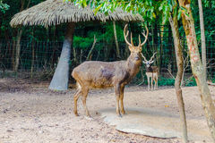 Также вызванное Barasingha (duvauceli Cervus), оленями болота, грациозно стоковые фото