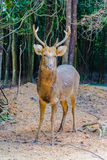 Также вызванное Barasingha (duvauceli Cervus), оленями болота, грациозно Стоковая Фотография RF