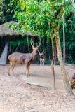 Также вызванное Barasingha (duvauceli Cervus), оленями болота, грациозно Стоковое фото RF