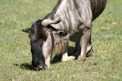 Также вызванные антилопы гну, гну Стоковое Фото