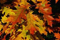 Также вызванные листья осени северного красного дуба, дубом чемпиона, латинским Quercus Rubra имени, показывая палитру цветов Стоковое Фото