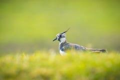 также как зеленый цвет знайте plover peewit lapwing северный Стоковая Фотография RF