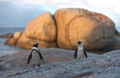 Также как пингвин Jackass и Черно-footed пингвин Стоковые Фотографии RF