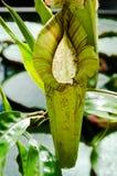 также как чашка известная по месту monkey завод питчера nepenthes Стоковые Изображения RF