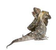 также как ящерица оборки frilled известная necked Стоковые Фото