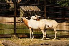 также дома игры пустыни dammah антилопы свое экзотического потухшего horned делает названный северный scimitar texas США ранчо or Стоковая Фотография RF