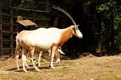 также дома игры пустыни dammah антилопы свое экзотического потухшего horned делает названный северный scimitar texas США ранчо or Стоковое Фото