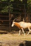 также дома игры пустыни dammah антилопы свое экзотического потухшего horned делает названный северный scimitar texas США ранчо or Стоковое Изображение