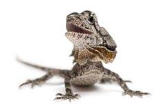 также ящерица известная оборкой necked Стоковое Фото