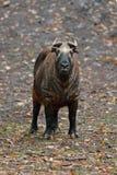 Такин Mishmi, taxicolor taxicolor Budorcas, коз-антилопа от Азии Большое животное в среду обитания природы Сцена живой природы от стоковые изображения