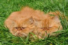 Такой же красный кот Стоковая Фотография