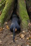 Такса внутри роет под корнями дерева Стоковое Фото