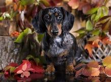 Такса собаки Стоковая Фотография