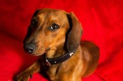 Такса собак-это одно из его самых лучших представлений стоковое фото