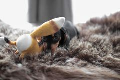 Такса щенка на половике bearskin играя с Fox игрушки стоковое фото