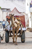 Такси верблюда в Pushkar Стоковое Изображение
