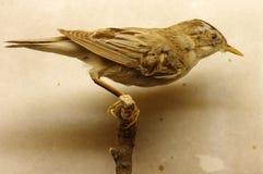 Таксидермия певчей птицы Saedge Стоковые Изображения RF
