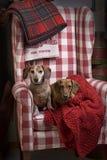 2 таксы в красном Checkered стуле Стоковые Фото