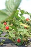 Так вырастите ягода стоковое фото