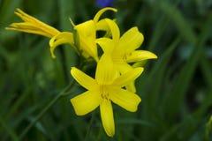 Так желтого цвета лилия 2 так Стоковое фото RF