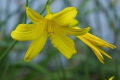 Так желтого цвета лилия так Стоковое Изображение RF