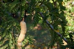Тамаринд на ветви дерева Стоковые Фотографии RF