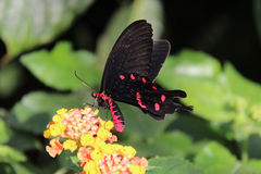 Танец бабочки Стоковое Фото