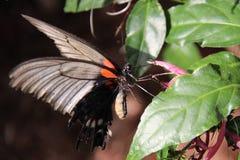 Танец бабочки - swallowtail Стоковые Изображения RF